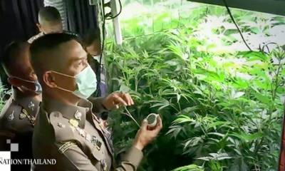 Growing cannabis in Bangkok